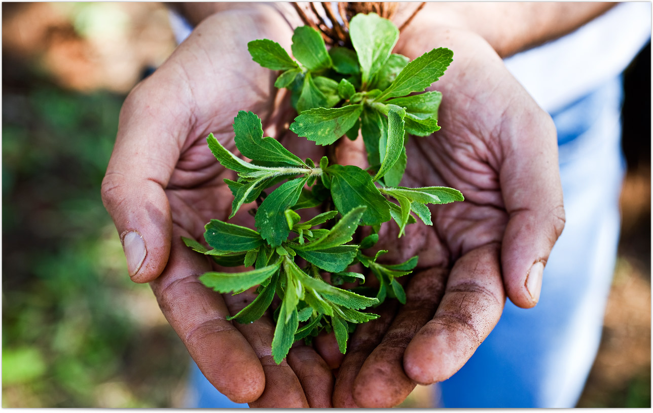 Hands holding stevia leaves